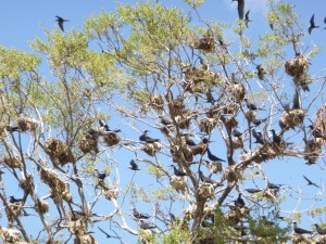Colonial nesting seabird - nest site smells awful