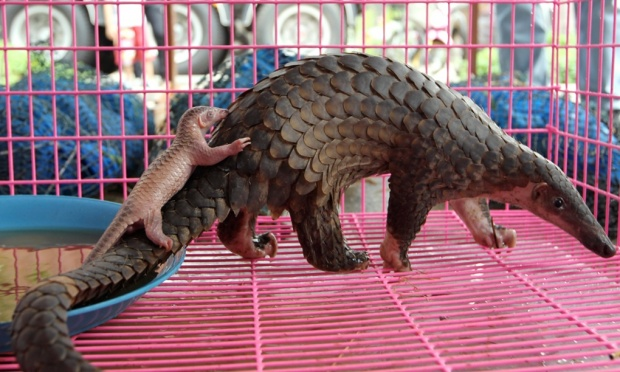 Confiscated smuggled pangolins