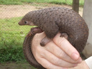 Tree Pangolin