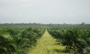 David Hill: Palm oil fields in Peru