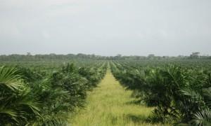 David Hill: Palm oil fields in Peru