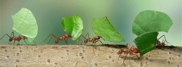 Leaf cutter ants carrying leaves back to the nest - Kim Taylor / naturepl.com