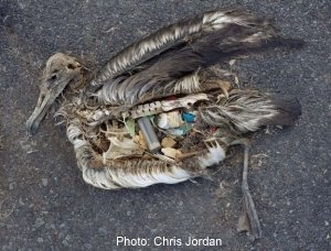 Chris Jordan: Albatross at Midway atoll|Marine litter causing biodiversity loss