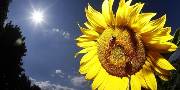 Bees land on a sunflower in Munich, Germany - © AP